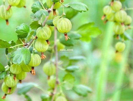 Agrest krzaczasty Hinnonmaki Gelb - żółty/zielony (ribes uva-crispa)