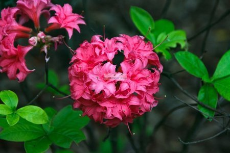 Azalia wielkokwiatowa Homebush (na pniu)