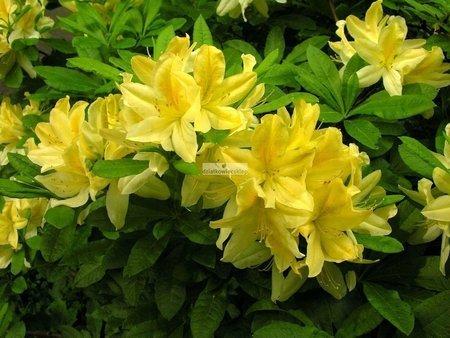 Azalia wielkokwiatowa Yellow Pom Pom (Azalea)
