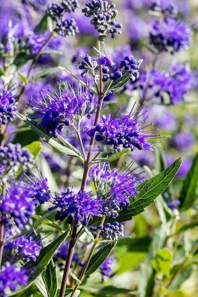 Barbrula klandońska Heavenlu Blue (Caryopteris ×clandonensis)