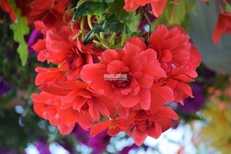 Begonia zwisająca różowa (1 szt.)