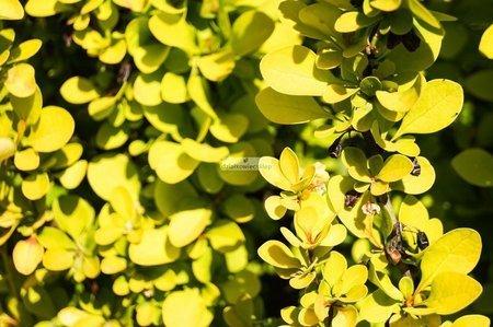 Berberys Thunberga Aurea (berberis thunbergii)