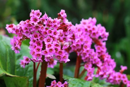 Bergenia sercolistna Spring Fling (Bergenia cordifolia)