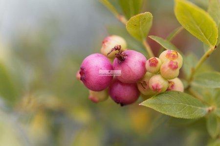Borówka amerykańska Pink Blueberry (różowa)