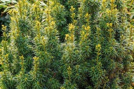 Cis pospolity Fastigiata (Taxus baccata)