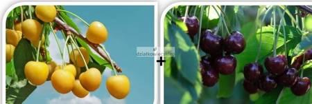 Czereśnia - jedno drzewko 2 odmiany! (Drogana żółta + Burlat) - owoce żółte i purpurowo czerwone