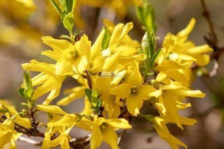 Forsycja Goldrausch (Forsythia ×intermedia)