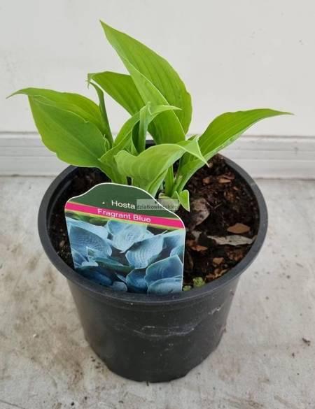 Funkia Fragrant Blue (hosta)