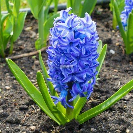 Hiacynt Blue Magic (5 szt.) (Hyacinthus)