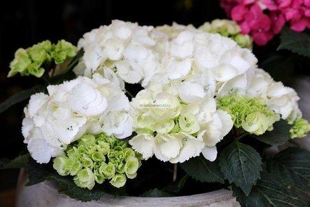 Hortensja ogrodowa Mme Em. Mouillere (Hydrangea mac. Mme Em. Mouillere)