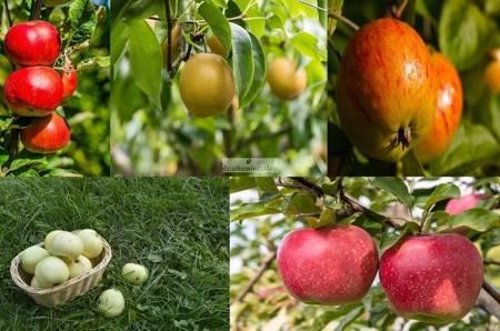 Jabłoń -  5 odmian! (Oliwka Żółta+Koksa Pomarańczowa+Fantazja+Szara Reneta+Freedom)