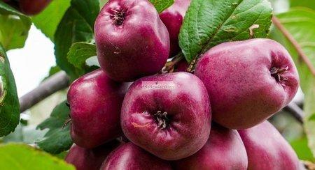 Jabłoń Malinowa Oberlandzka (goły korzeń)