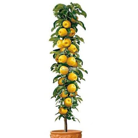 Jabłoń kolumnowa Bolero - żółte owoce