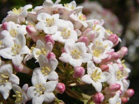 Kalina Burkwoodii ANNE RUSSELL (Viburnum burkwoodii ANNE RUSSELL)