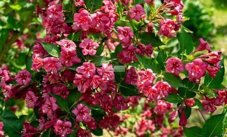 Krzewuszka Bristol Ruby (Weigela)