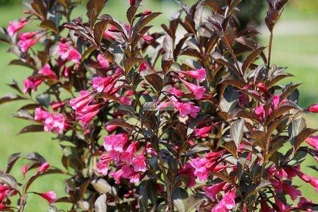 Krzewuszka Wine & Roses Alexandra PBR (Weigela florida)