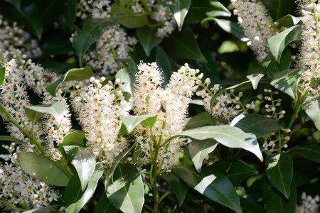 Laurowiśnia wschodnia Otto Luyken  (Prunus laurocerasus)