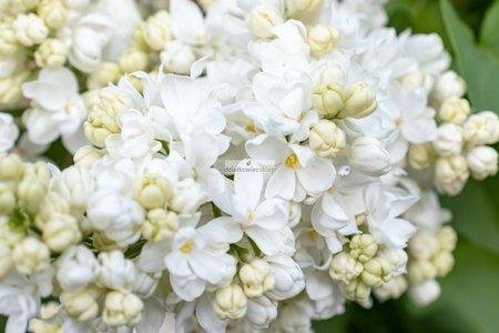 Lilak Pamięć o Kolesnikowie (Syringa vulgaris)