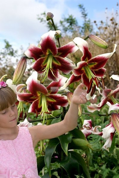 Lilia drzewiasta Leslie Woodriff (1 szt.) (lilium)