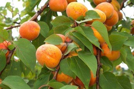 Morela Hargrand (Prunus armeniaca Hargrand)