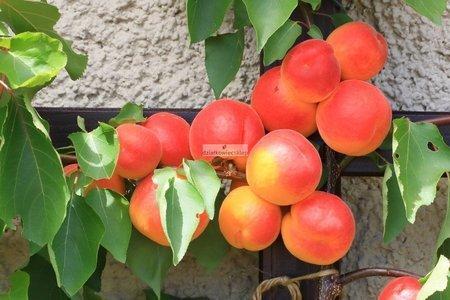 Morela Somo (Prunus armeniaca Somo)