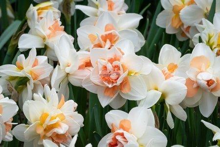 Narcyz pełny Extravaganza (2 szt.) (Narcissus)