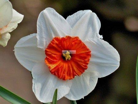 Narcyz wielkoprzykoronkowy Barrett Browning (2 szt.) (Narcissus)