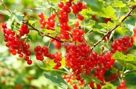 Porzeczka krzaczasta czerwona Jonkheer Van Tets (Ribes niveum Jonkheer Van Tets) (goły korzeń)