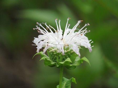 Pysznogłówka Schneewolke (Monarda)