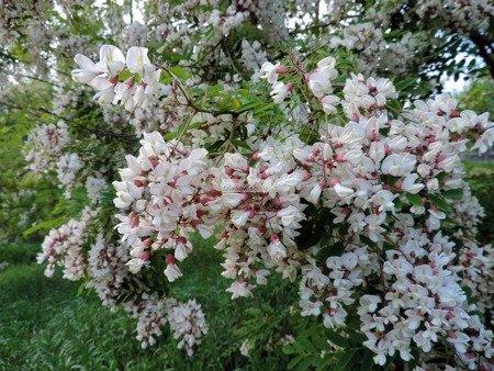 Robinia akacjowa Altdorf (Robinia pseudoacacia 'Altdorf')