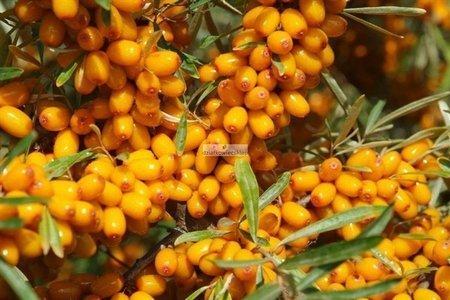 Rokitnik Fierdorfer's Orange (samopylny) (Hippophae rhamnoides)