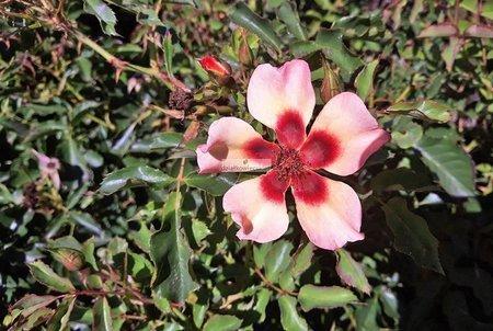 Róża perska Babylon Eyes® Flame (rosa)