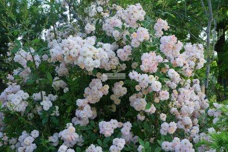 Róża pnąca Sunflor Parfum D'Evita ® (rosa)