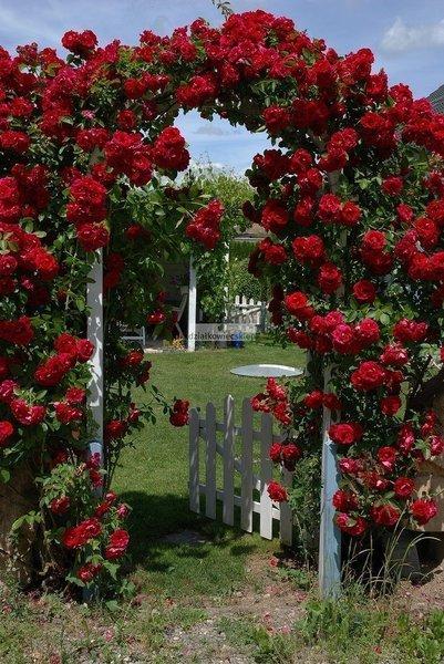 Róża pnąca Thats Jazz™Courtyard (rosa)