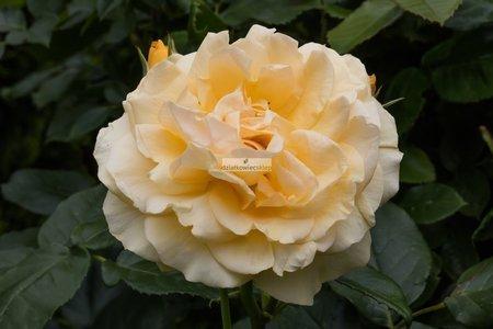"Róża rabatowa Anisade syn. ""Julia Child"" (rosa)"