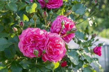 Róża rabatowa Avila Palace ® (rosa)