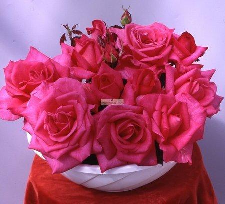 Róża rabatowa Parole ® (wielkokwiatowa) (rosa)