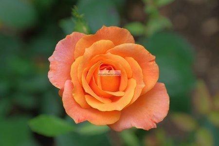 Róża rabatowa Sahara ® (rosa)