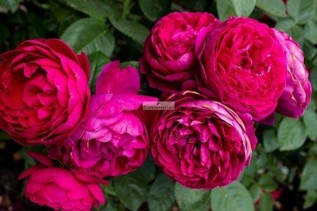 Róża renesansowa Ascot ® (rosa)