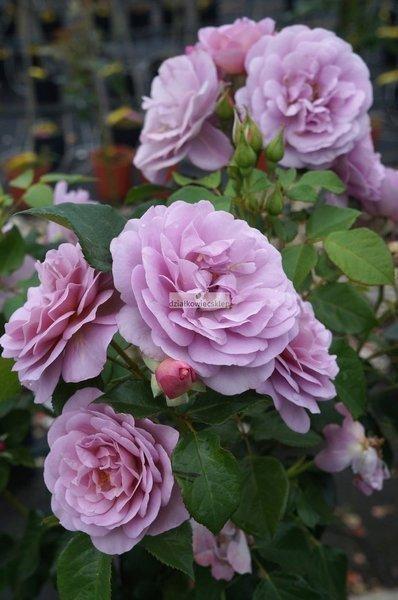 Róża wielkokwiatowa Lady Perfume syn. Jagoda ® (rosa)