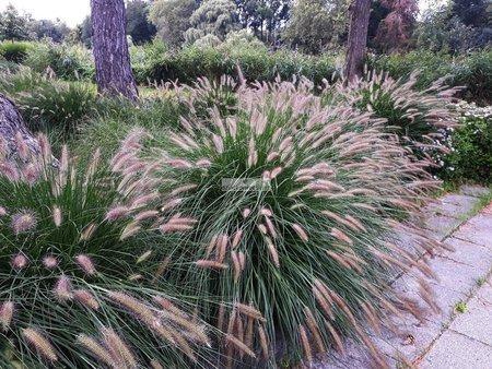 Rozplenica japońska Hameln (Pennisetum alopecuroides) (doniczka)