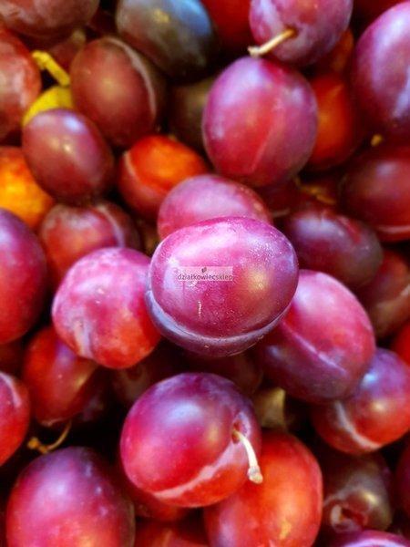 Śliwa Opal (Prunus domestica) (goły korzeń)