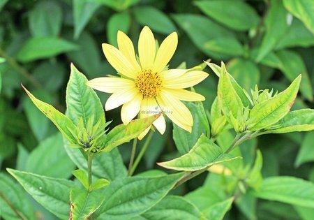Słonecznik Lemon Queen (Helianthus Lemon Queen)