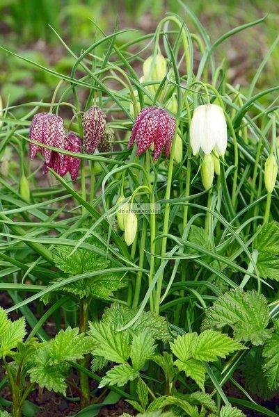 Szachownica Meleagris Mix (10 szt.) (Fritillaria)