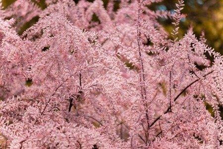 Tamaryszek pięciopręcikowy Pink Cascade (Tamarix ramosissima Pink Cascade)