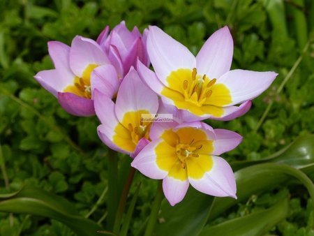 Tulipan botaniczny Lilac Wonder (5 szt.) (Tulip)