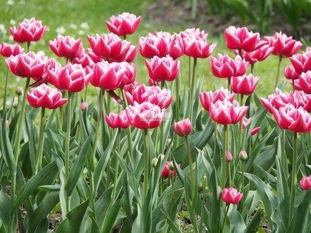 Tulipan pełny-wczesny Columbus (5 szt.) (Tulip)