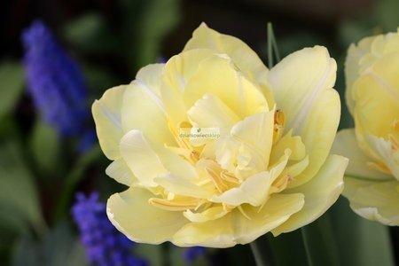 Tulipan pełny-wczesny Montreux (5 szt.) (Tulip)