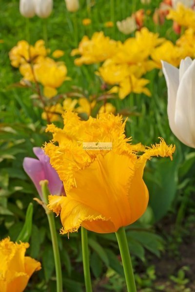 Tulipan strzępiasty Hamilton (5 szt.) (Tulip)