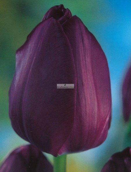Tulipan triumph Negrita (5 szt.) (Tulip)
